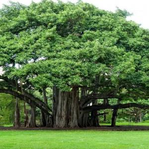 tree-myth